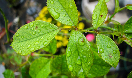 Raindrops sitting on green leaf